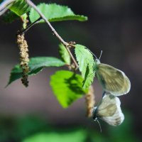 Бабочки :: Марина Влади-на