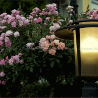 Свет фонаря согреет розы... :: Сергей Калиновский