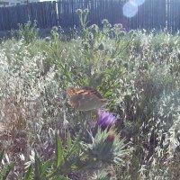 бабочка :: Giant Tao /