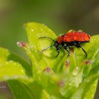 Лилейный жук :: Александр Синдерёв
