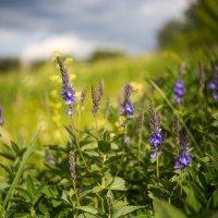 Полевые цветы :: Михаил Сандарьян