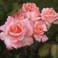 Розы. Дождливый день. :: Nata