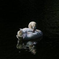 Лебедь :: Verdalika Verdalika
