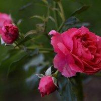 Розовая роза. Символ тёплых чувств. :: Николай Ярёменко