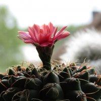 Лета нет, так хоть кактусы радуют..! :: Vladimir Perminoff