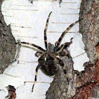 Климат теплеет, а паучки жирнеют..:) :: Андрей Заломленков
