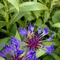 Пыльцу собрать - не поле пролететь. :: Татьяна