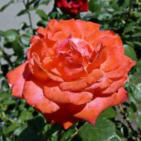 Коралловая роза :: Владимир Бровко