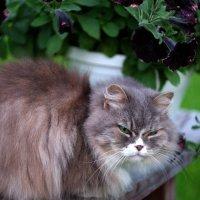 Любимая кошка :: Евгений Шувалов