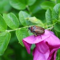 Майский жук в июне :: Наталья Булыгина (NMK)