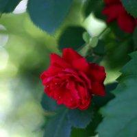 Роза в июне :: Minowara Sam