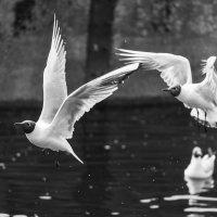 Чайки в полёте. :: Виктор Евстратов