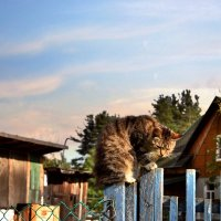 Кот полосатый, деревенский! :: Антоха Л