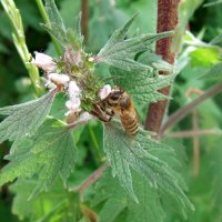 Пустырник и пчелка! :: Наталья