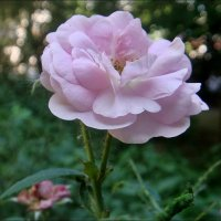 Такая трогательная роза.. :: Нина Корешкова