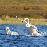Тундровые лебеди!!! :: Олег Кулябин