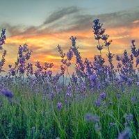 Закат в лавандовом поле :: Николай Ковтун