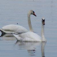 Пара лебедей :: Лидия Суюрова