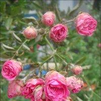 Вьющаяся роза :: Нина Корешкова