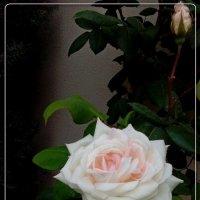 розово-кремовая красавица :: maxim