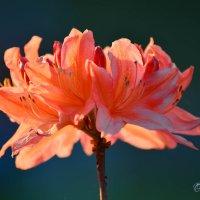 Солнечный рододендрон :: Тамара Бедай