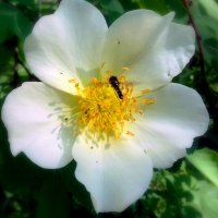 Белый шиповник . :: Мила Бовкун