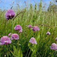 Скромная красота полевых цветов июня :: Николай Белавин