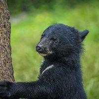 Шкотовский сафари парк, Гималайский медвежонок :: Эдуард Куклин