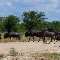 Антилопы Гну. Namibia :: Jakob Gardok