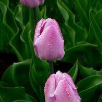 Тюльпаны :: Вера Щукина