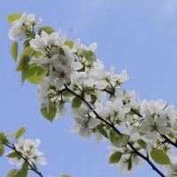 яблони в цвету :: Александр ***