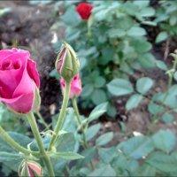 В мире роз :: Нина Корешкова
