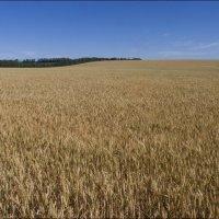 Пшеничное поле :: Владимир Стаценко