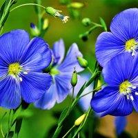 Цветы льна :: Oleg S