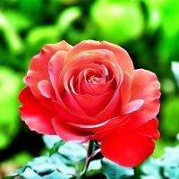 Королева цветов :: Сергей Беличев