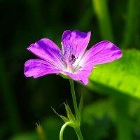Полевые цветы :: Милешкин Владимир Алексеевич