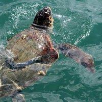 Морская черепаха :: Аркадий Басович