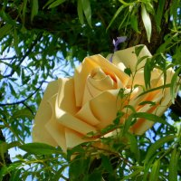 Ива розами цветет :: Татьяна Лобанова