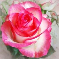 Роза из букета. :: Ирина