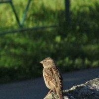 Одна очень маленькая. но гордая птичка ! :: OLLES