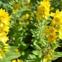 Полёт пчелы. :: zoja