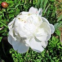 Белый пион :: Лариса