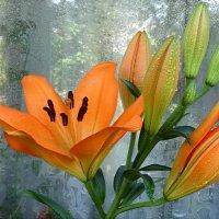 Расцвёл мой лилий на балконе..:) :: Андрей Заломленков