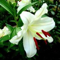 А лилии цветут :: Raduzka (Надежда Веркина)