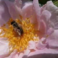 Нектар сосущая пчела колышет розовое ложе, и два сверкающих крыла на две больших слезы похожи. :: Люба