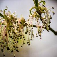 Кленовые цветочки :: Светлана SvetNika17