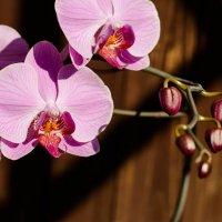 Мамины орхидеи :: Luba Koba
