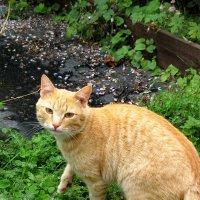 Кот, гуляющий, сам по себе :: OLLES