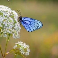 Бабочка :: Сергей Добрыднев
