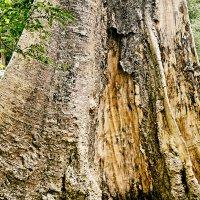 Ствол многовекового дерева. :: Alex